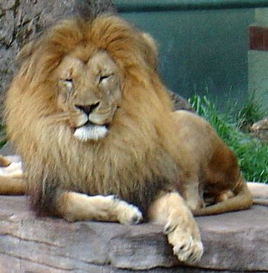 http://www.demochoice.org/img/zoo/lion.jpg